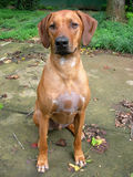 Big dog. Ridgeback puppy sitting pretty in yard Stock Image