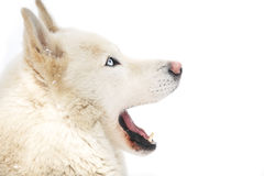 Big dog Royalty Free Stock Images