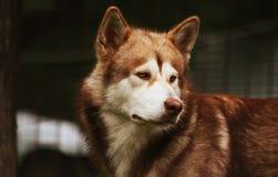 Big dog. Big nasty brown dog wolfhound Stock Photography