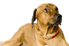 Big Dog Royalty Free Stock Photography