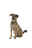 Big dog Royalty Free Stock Photo