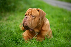 Big dog. A dog of breed is a dog from Bordeaux, lying on a green grass Stock Images