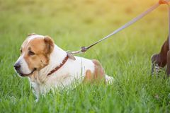 Big dog Alabai on a leash lying in grass royalty free stock image