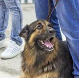 The big dog. Royalty Free Stock Photos