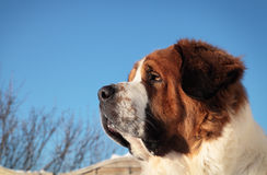 Big dog on a background of blue sky.  royalty free stock photo