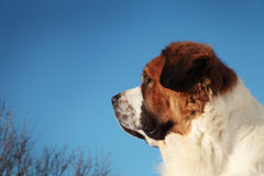 Big dog on a background of blue sky.  Stock Photos
