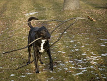 Big dog with big stick Royalty Free Stock Photo