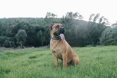 Big dog Boerboel Breed sitting in grass with beautiful green forest background stock images