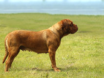 Big Dog - Bordeaux Mastiff. Head portrait stock photos