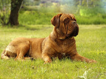 Big Dog - Bordeaux Mastiff. Head portrait stock photography