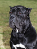Big Dog The Cane Corso is a large Italian Molosser. Stock Image