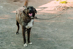 Big dog on a chain. Image of the big dog on a chain Royalty Free Stock Photo