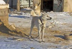 Big dog on a chain in the shelter. Big dog on a chain in a shelter for homeless animals Royalty Free Stock Images