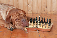 Big Dog with Chess Board Royalty Free Stock Image