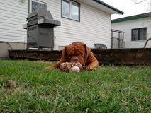 Big dog chewing on a bone. Dogue de bordeaux chewing on a big raw bone Stock Photos