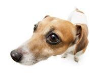 Big dog curious nose Stock Photo