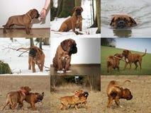Big Dog Dogue de Bordeaux Royalty Free Stock Photos