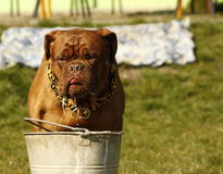Big Dog, Dogue de Bordeaux Royalty Free Stock Image
