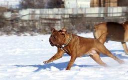 Big Dog - Dogue de Bordeaux Royalty Free Stock Photo
