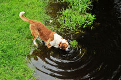 Big dog drink water Royalty Free Stock Photo