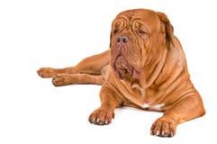 Big Dog On Duty. Big Guard Dog on Duty Royalty Free Stock Photo