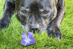 Big Dog and Flower Royalty Free Stock Photo