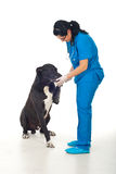 Big dog giving paw to his doctor stock photography