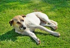 Big dog on grass Stock Image