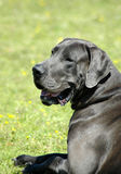 Big dog - Great Dane. A beautiful Blue Great Dane dog head portrait with cute expression in the face watching other dogs in the park outdoors Stock Image