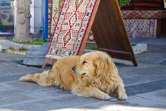 Big dog guards the Turkish carpet Royalty Free Stock Image