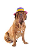 Big Dog in Hat Royalty Free Stock Photo