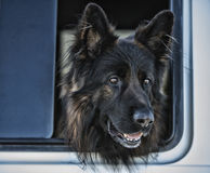 Big dog with head out of window. Royalty Free Stock Images