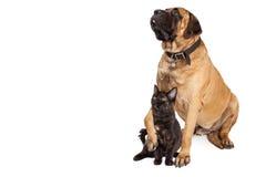 Big Dog Holding Kitten Stock Image