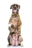 Big dog with an injured leg standing up on his rear legs. isolated Stock Photography