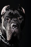 Big dog italian cane corso Royalty Free Stock Image