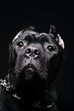 Big dog italian cane corso Stock Photos