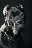 Big dog italian cane corso Stock Images