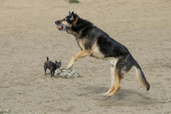 Big dog jumping for ball Royalty Free Stock Photo