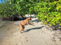 boxer dog jumping on a beach Royalty Free Stock Photos