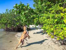 boxer dog jumping on a beach Stock Photography