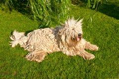 Big dog (Komondor) from Hungary. Big komondor in the garden Stock Photos