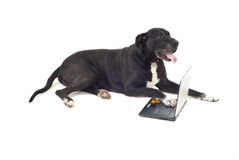 Big dog with laptop Stock Photos