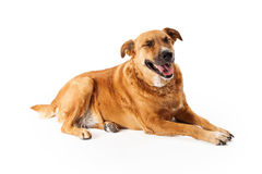 Big Dog Laughing Stock Photos