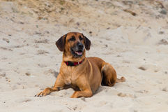 Big dog laying on sand beach royalty free stock photo