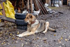 Big dog on a leash in the yard. Near the old tires Royalty Free Stock Photo