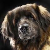 Big dog Leonberger portrait in the dark studio. Big dog Leonberger portrait in the studio Royalty Free Stock Photo