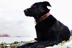 Black big dog with bright eye on the background of the sea bay of Russia. oil painting picture stock illustration