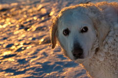 Big dog - Carpathian Shepherd in the light of sunset. Photo shoot with a Carpathian Shepherd. Big Dog in the light of sunset royalty free stock photo