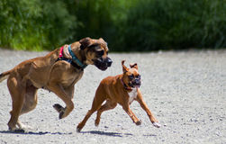 Big Dog Little Dog. A large Mastiff chases a small boxer at a dog park. The big dog is almost on top of the small boxer as she tries to escape, running as fast Stock Photo