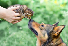 A big dog and a little kitten Stock Image
